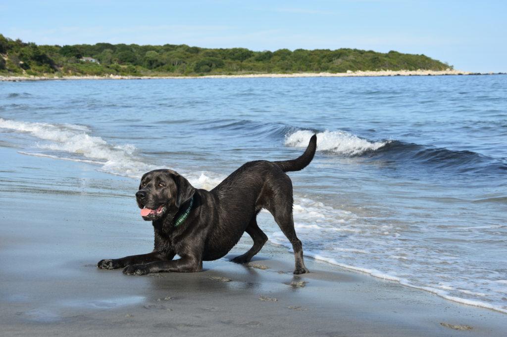 Ein schwarzer Labrador spielt am Ufer