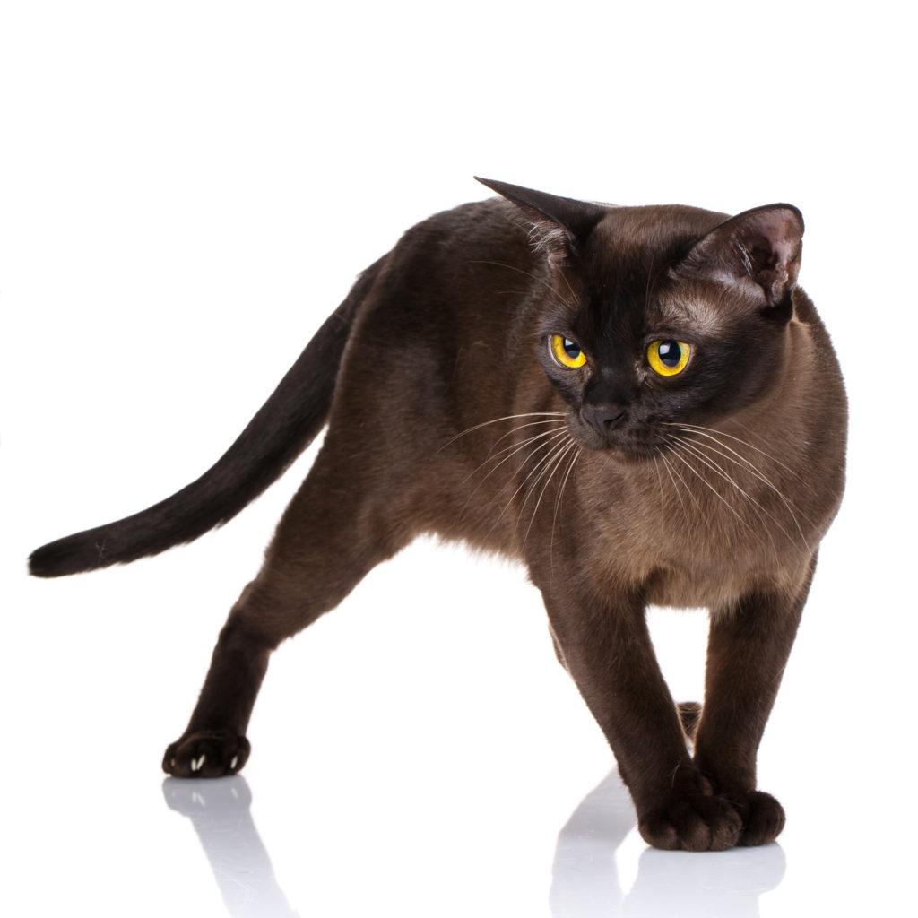 Mörk burma katt