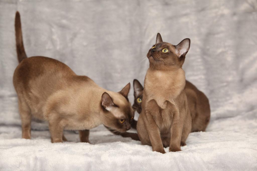 Två Burma katter