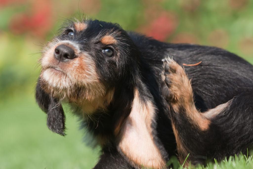 Parasiten beim Hund sorgen für Juckreiz