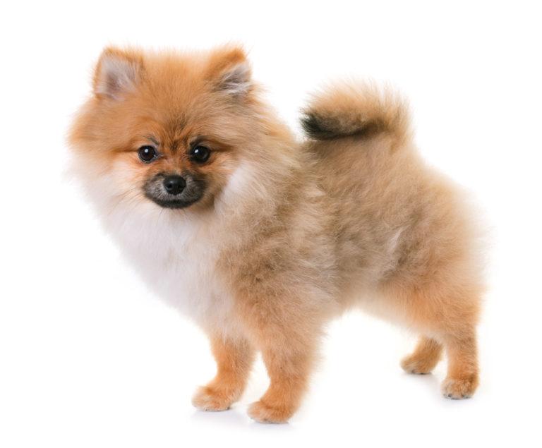 Dvärgspets (Pomeranian)