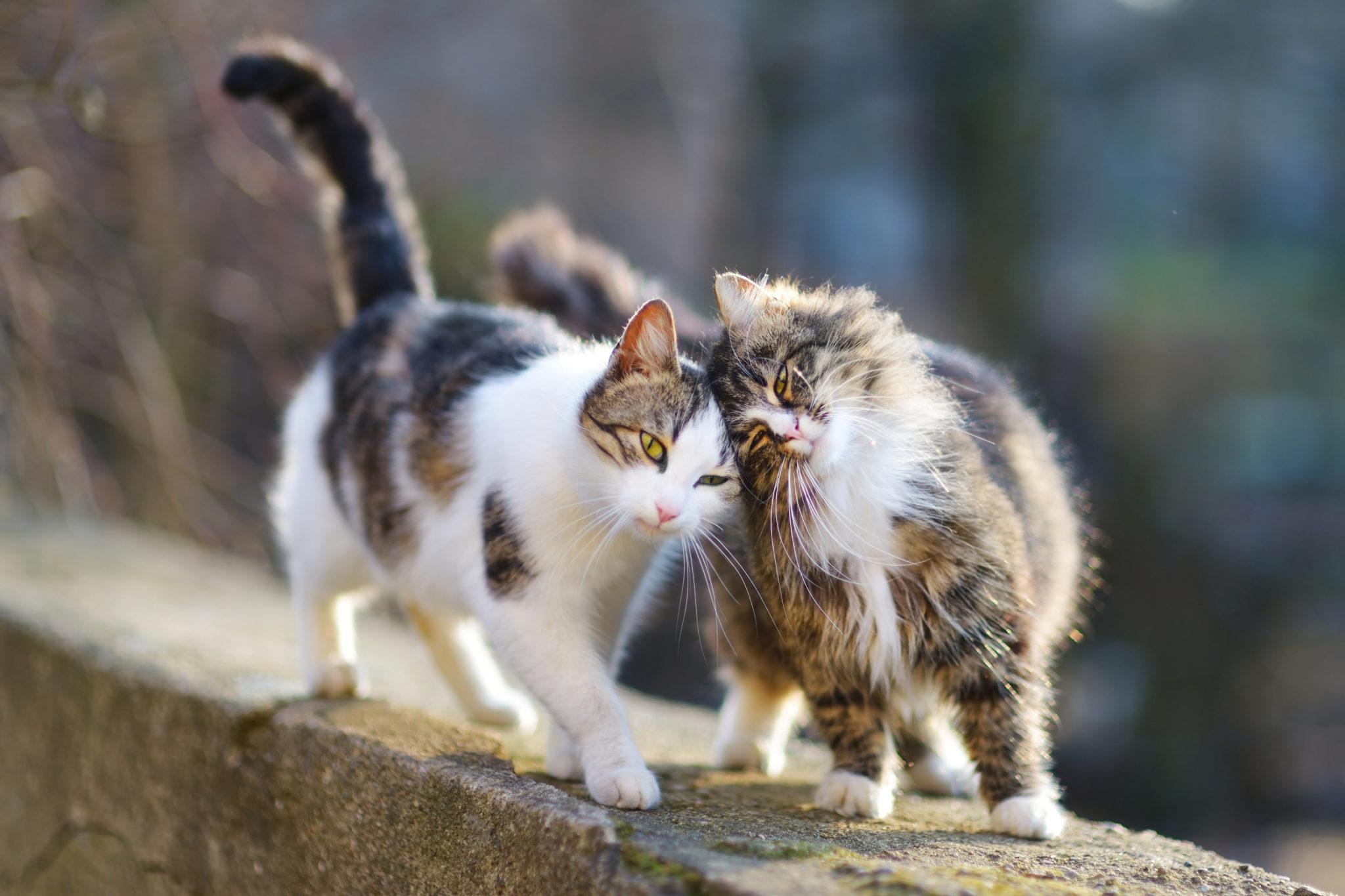 Kastration oder Sterilization bei Katzen