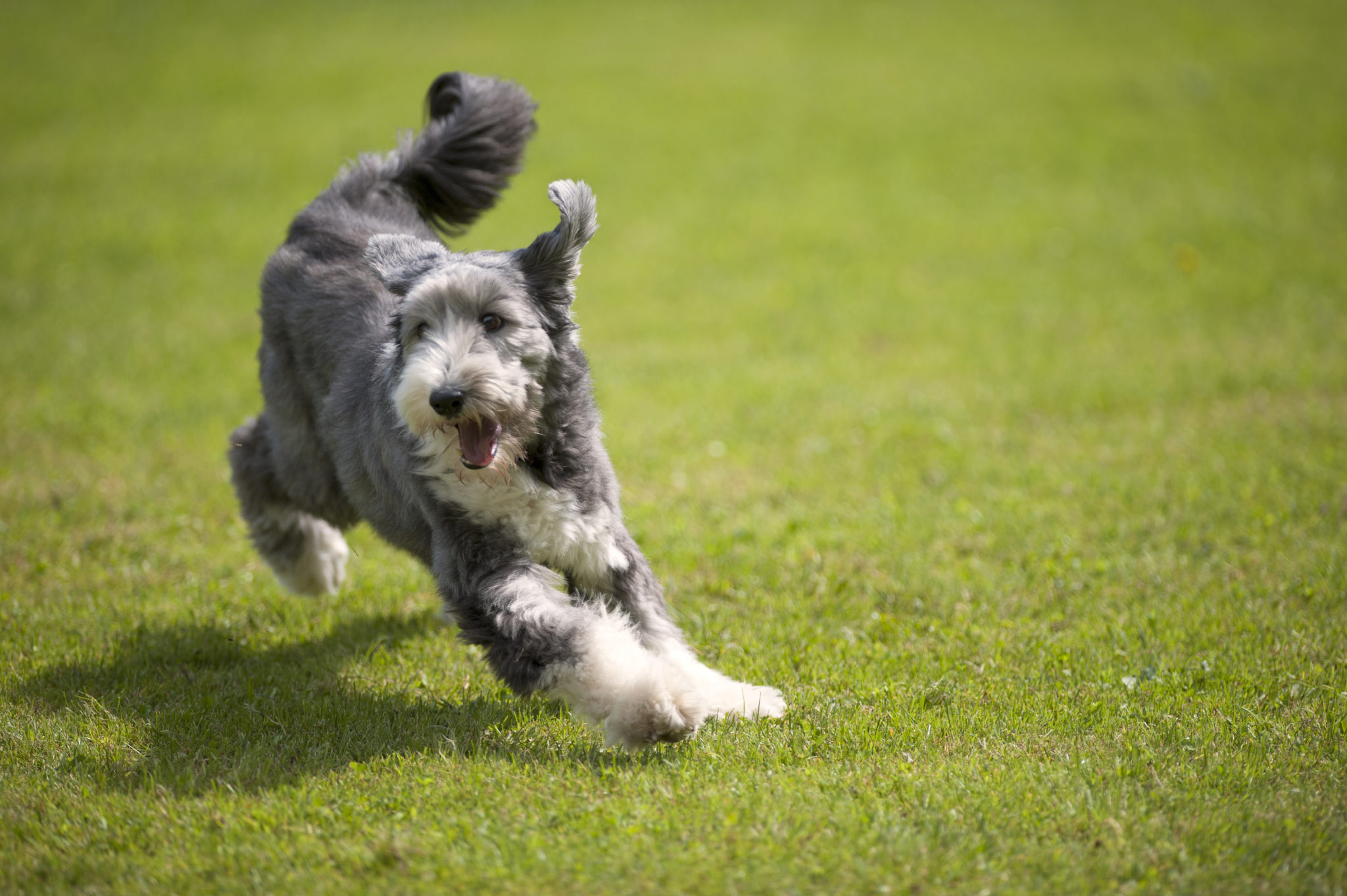 Bearded Collie Zooplus Hundmagasin