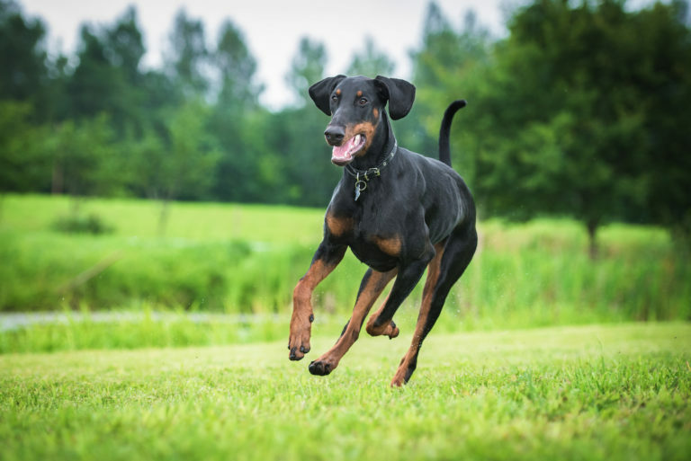 Dobermann som springer