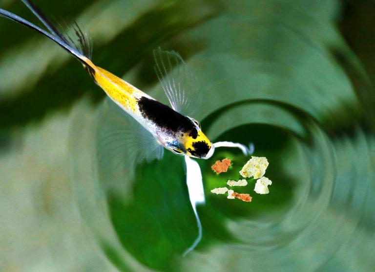 Utfodring av fiskar