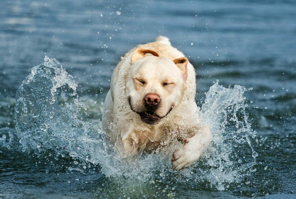 överviktig labrador i vatten
