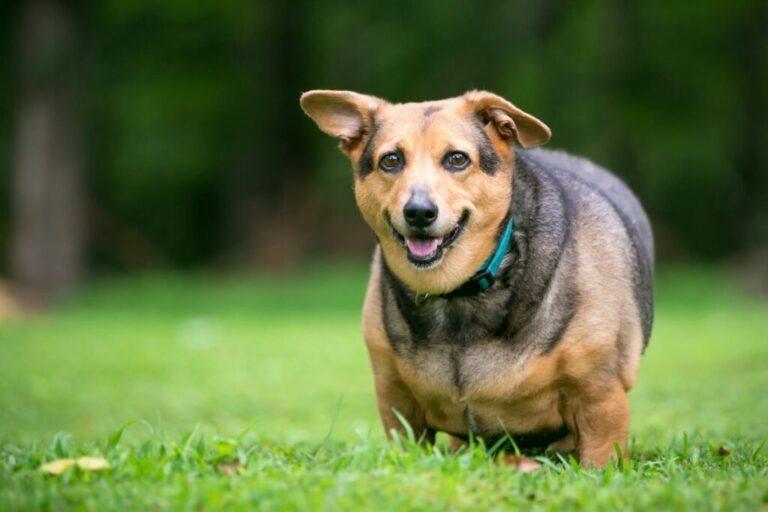 överviktig hund