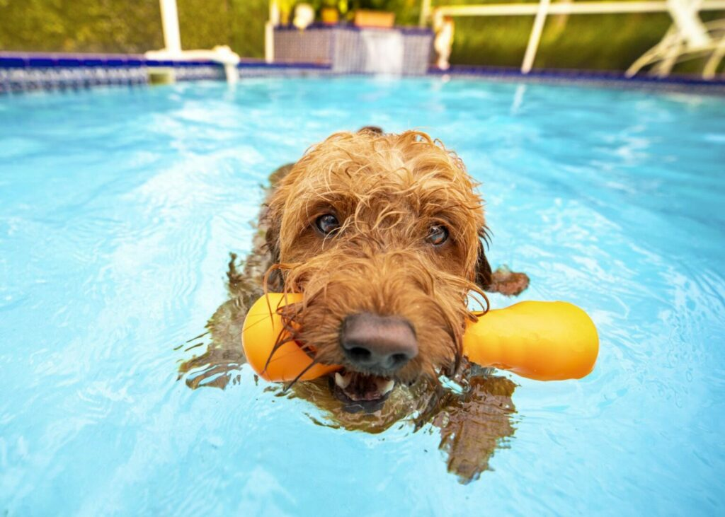 svalka hunden i poolen