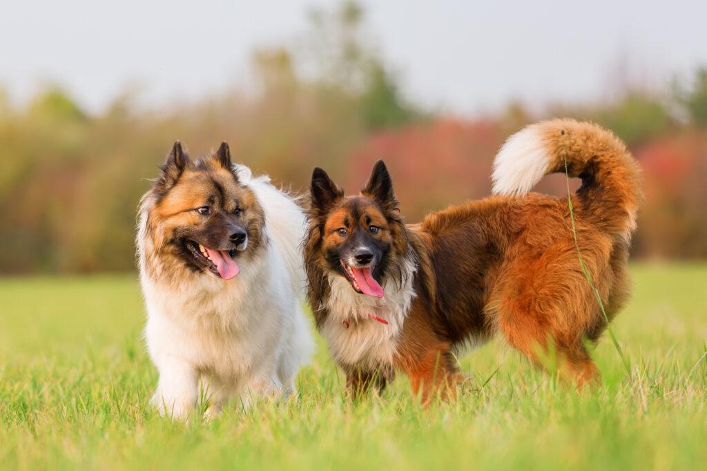 två elo hundar leker