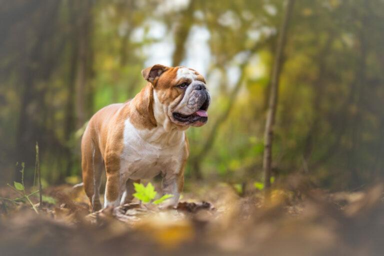 Engelsk bulldogg